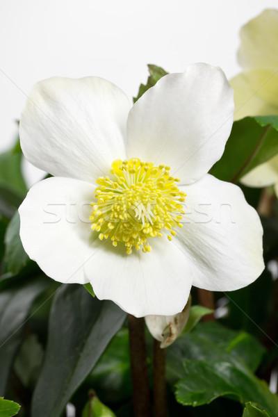 Negro Níger Navidad aumentó flor naturaleza Foto stock © haraldmuc