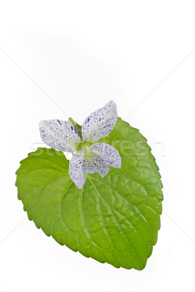 そばかすのある バイオレット 花 葉 白 自然 ストックフォト © haraldmuc