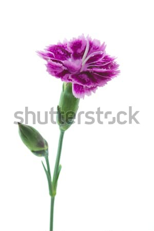 Dianthus barbatus garden flower or Sweet William  Stock photo © haraldmuc