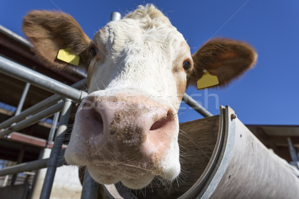 Cow portrait against blue sky, Bavaria, Germany Stock photo © haraldmuc
