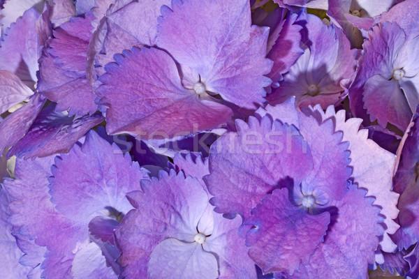Purple Hydrangea flower as background Stock photo © haraldmuc