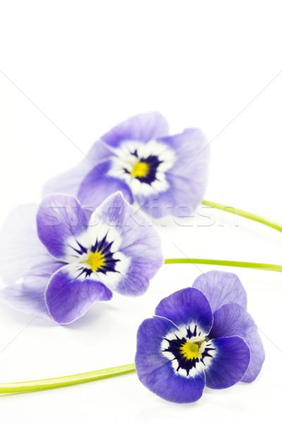 Viola cornuta flower Stock photo © haraldmuc
