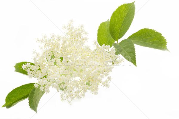 Elderflower on white background Stock photo © haraldmuc