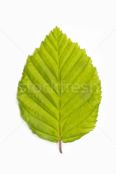 Fa levél fehér természet zöld fiatal Stock fotó © haraldmuc