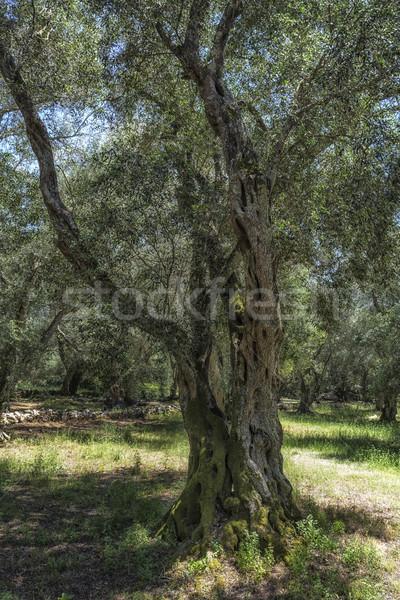 Oude olijfboom eiland Griekenland gras zon Stockfoto © haraldmuc