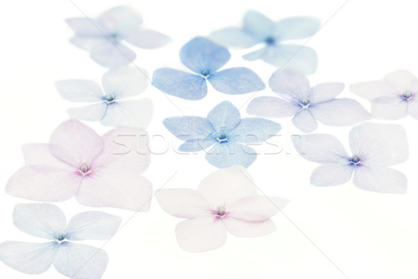 Płatki biały kwiat lata niebieski piękna Zdjęcia stock © haraldmuc