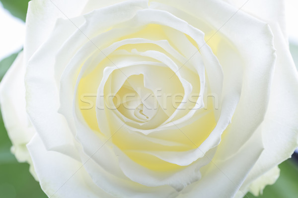 Creamy white rose, closeup Stock photo © haraldmuc