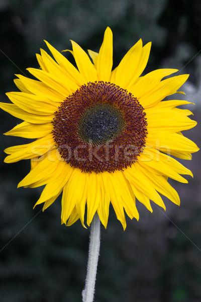 Blooming Sunflower (Helianthus)  Stock photo © haraldmuc