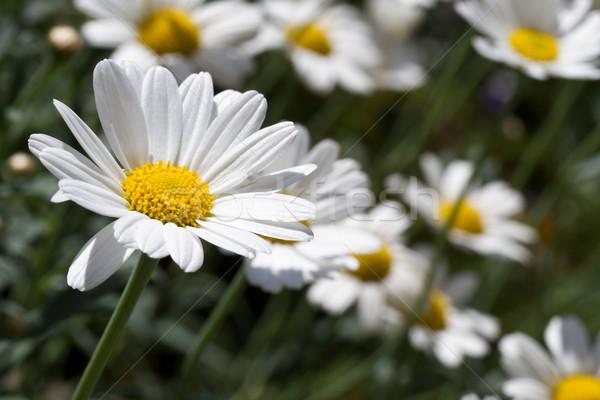 Blooming oxeye daisy (Leucanthemum) Stock photo © haraldmuc