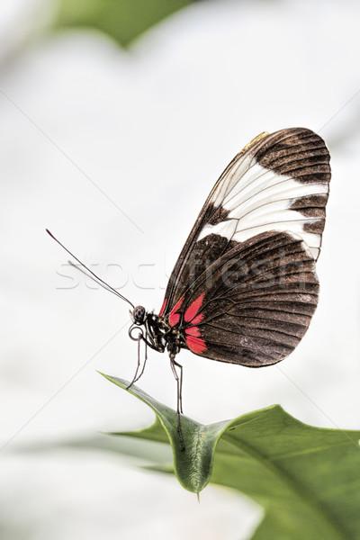 Briefträger Schmetterling Blume Natur Blatt Sommer Stock foto © haraldmuc