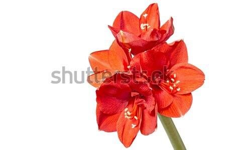 Amaryllis (Amaryllidaceae) closeup, isolated Stock photo © haraldmuc
