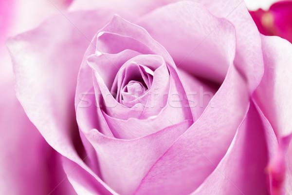 Single rose closeup Stock photo © haraldmuc