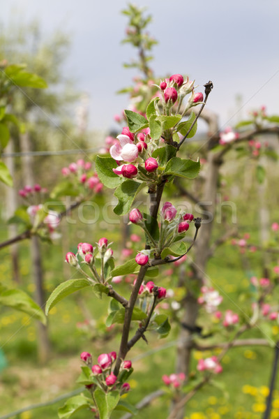 Apple blossoms Stock photo © haraldmuc