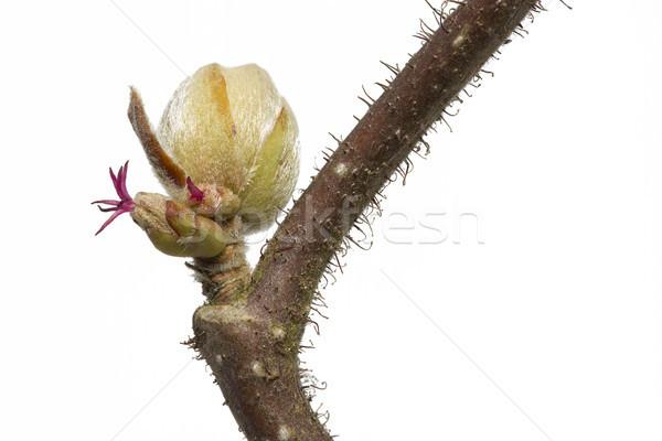 Spring branch of a Corylus avellana plant Stock photo © haraldmuc