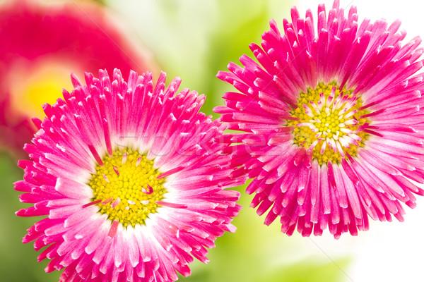 Twee bloemen bloem tuin zomer Stockfoto © haraldmuc