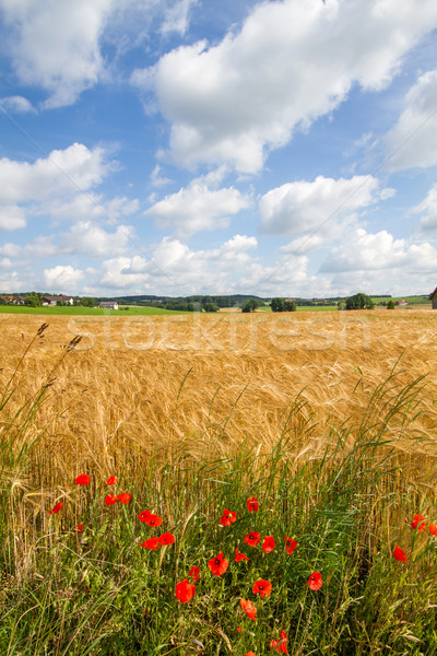 Grain field in Bavaria, Germany Stock photo © haraldmuc