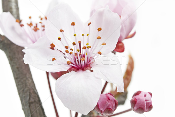 Cherry Plum or Myrobalan Blossoms Stock photo © haraldmuc
