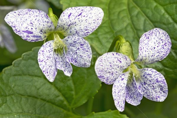 Sommersprossen violett Blume zwei Blumen Garten Stock foto © haraldmuc