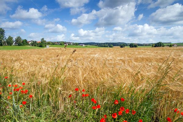 Graan veld Duitsland voorjaar voedsel gras Stockfoto © haraldmuc