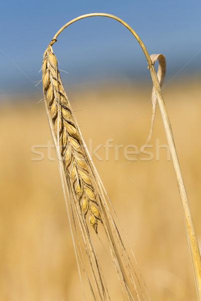 Gerst buiten veld voedsel natuur boerderij Stockfoto © haraldmuc
