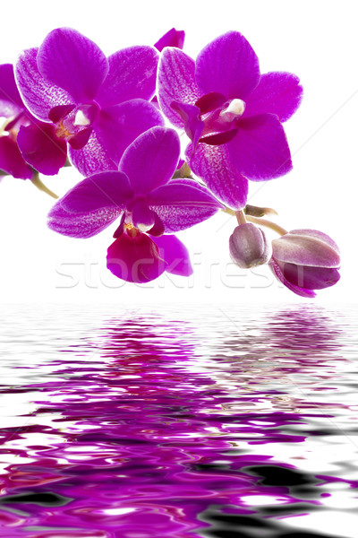 Rózsaszín orchidea vadvízi hatás virág víz Stock fotó © haraldmuc