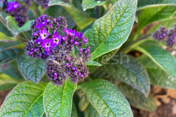 Painted Lady Flower (Heliotropium arborescens) Stock photo © haraldmuc