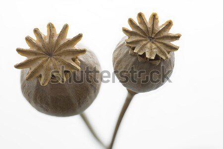 Dry poppy flower closeup, isolated Stock photo © haraldmuc