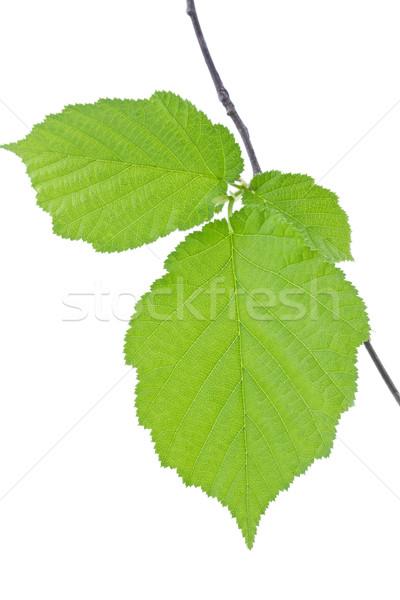 Hazel leaves isolated on white (Corylus Avellana) Stock photo © haraldmuc