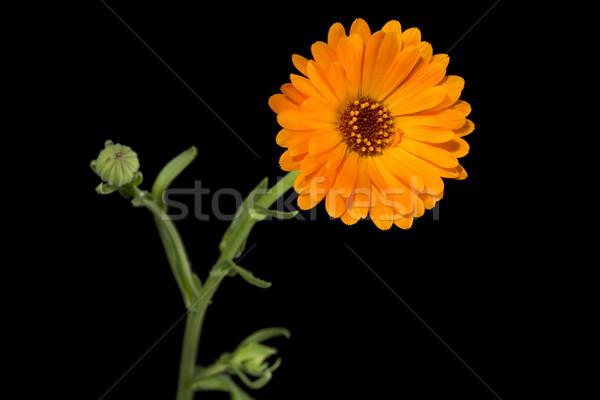 Marigold or Calendula officinalis on black Stock photo © haraldmuc
