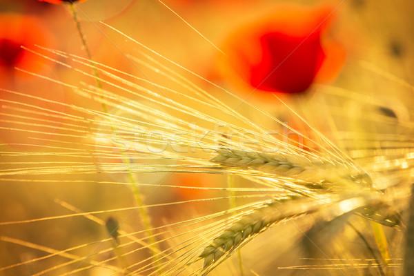Orge floraison pavot printemps nature fond Photo stock © haraldmuc