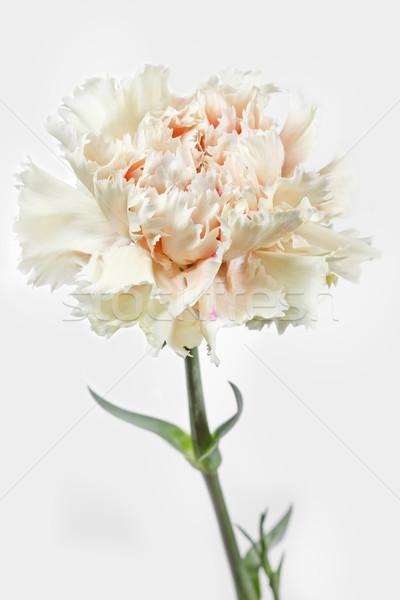 Clavel flor blanco primavera jardín belleza Foto stock © haraldmuc