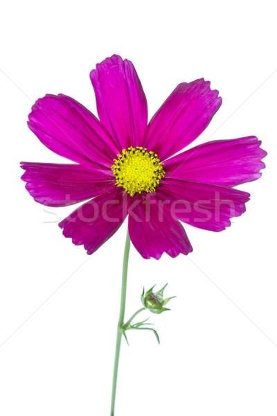 Cosmos bipinnatus flower on white Stock photo © haraldmuc