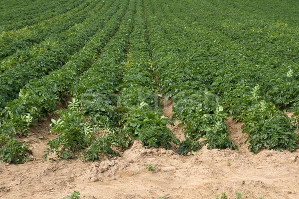 Potatoe Cultivation on the Channel Islands (Jersey, UK) Stock photo © haraldmuc