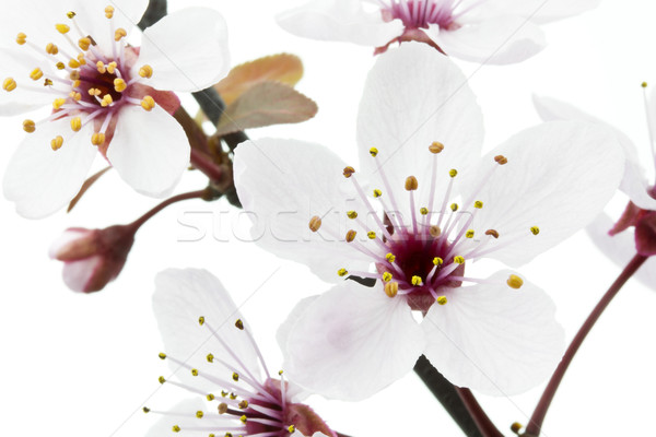 Cherry Plum or Myrobalan Blossoms on white Stock photo © haraldmuc