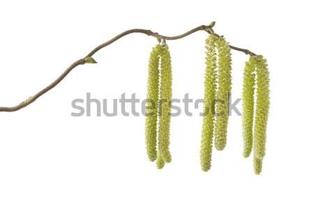 Catkins of a Corylus avellana plant Stock photo © haraldmuc