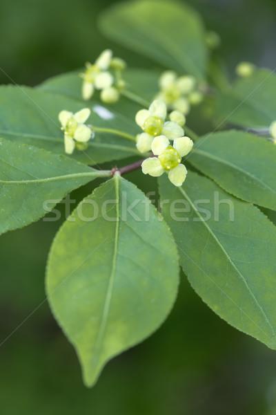 Blooming Euonymus alatus plant Stock photo © haraldmuc