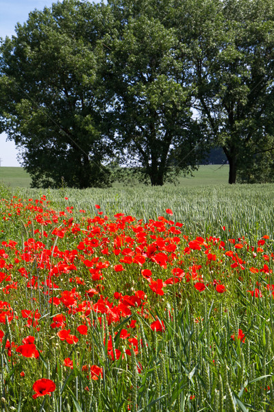 Poppies in front of a Wheat field in Bavaria, Germany Stock photo © haraldmuc