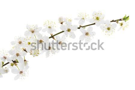 Blackthorn (prunus spinosa ) blossoms Stock photo © haraldmuc