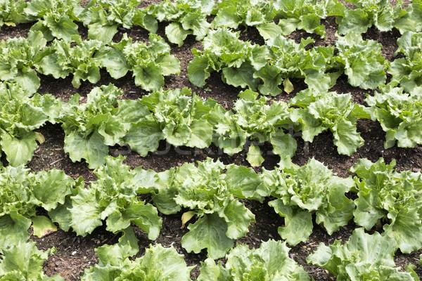 Young salad plants (lactuca sativa) Stock photo © haraldmuc