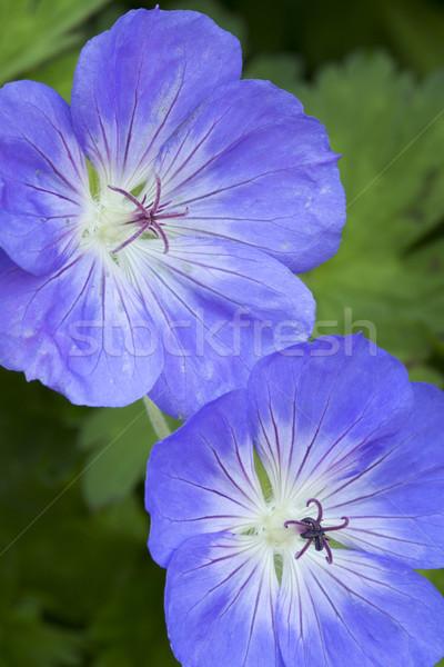 Kék virágok kert nyár zöld gyönyörű Stock fotó © haraldmuc