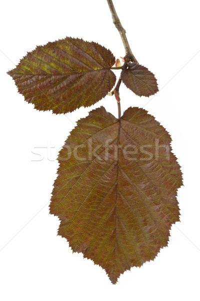 Brown hazel leaves (Corylus maxima) Stock photo © haraldmuc