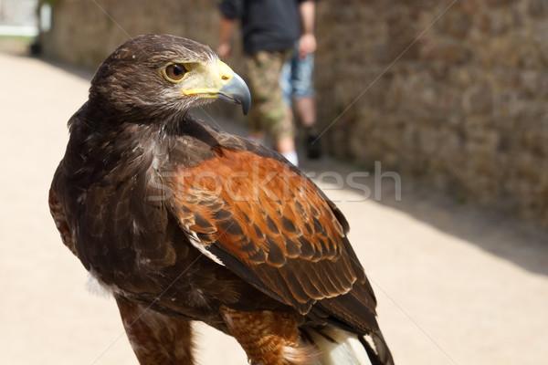 Falcon lavoro natura piuma libero veloce Foto d'archivio © haraldmuc