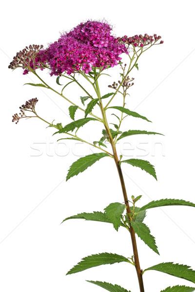 Meadowsweet (Spiraea japonica) flower Stock photo © haraldmuc