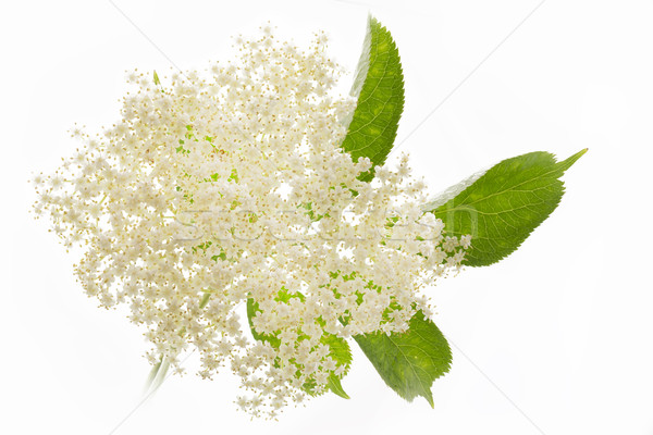 Witte bloem natuur achtergrond geneeskunde plant Stockfoto © haraldmuc