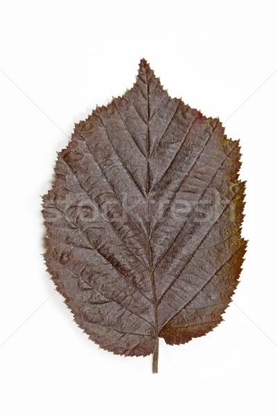 Brown hazel leaf (Corylus maxima)  Stock photo © haraldmuc