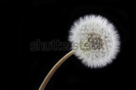 Dandelion (Taraxacum) and seeds Stock photo © haraldmuc