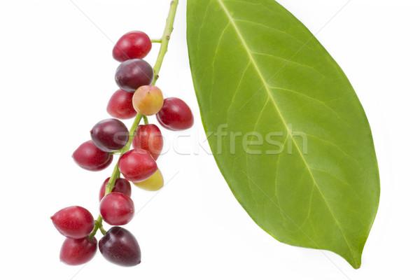 Cherry laurel (Prunus laurocerasus), fruits Stock photo © haraldmuc