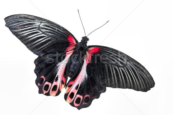 Scharlachroter Schwalbenschwanz (Papilio rumanzovia) Stock photo © haraldmuc