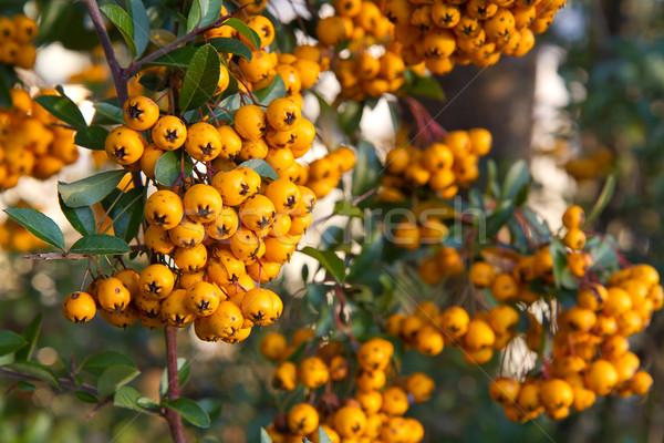 Berries of Pyracantha coccinea (firethorn) Stock photo © haraldmuc