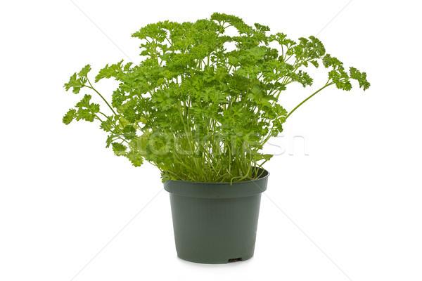 Fresh parsley in a pot Stock photo © haraldmuc